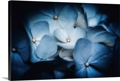 Sky Blue Hydrangeas