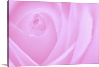 Soft Rose I
