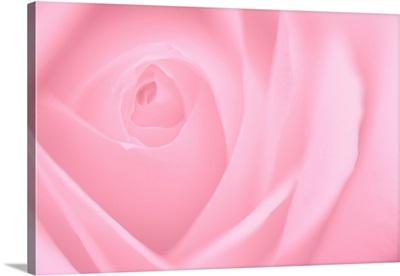 Soft Rose II