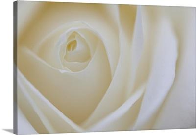 Soft Rose IV