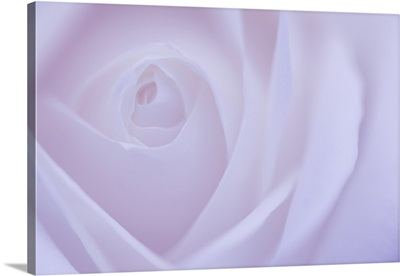 Soft Rose VI
