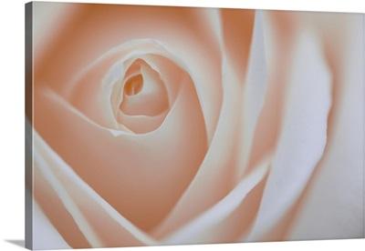 Soft Rose VIII