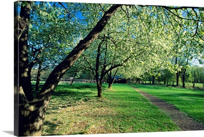 Spring Bloom in an Orchard, Historic Wicks Farm, Jockey Hollow S