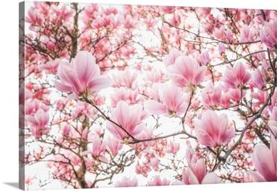 Spring Colored Magnolia