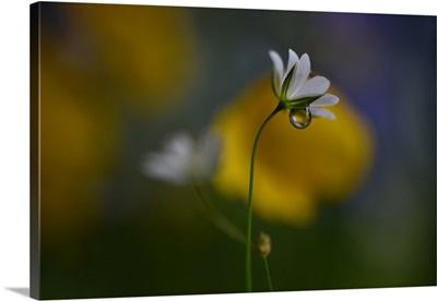 Stellaria graminea ll