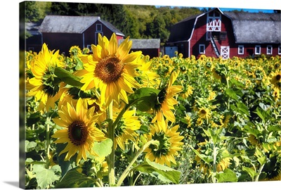 Sunflowers with a Barn