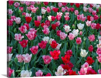 Tulip Riot ll