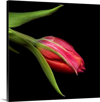 Varigated Tulips