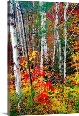 White Barks and Colorful Leaves, White Mountains,New Hampshire