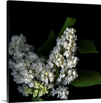 White lilac IX