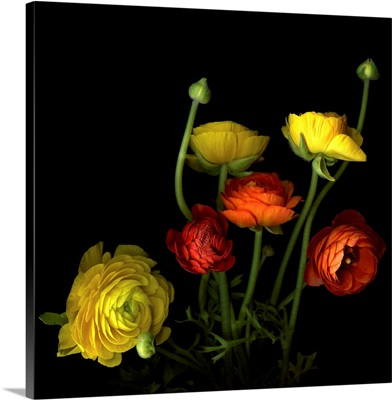 Yellow and red ranunculus