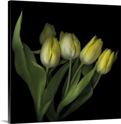 Yellow Tulips III