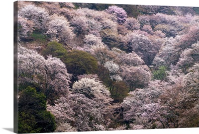 Yoshino, Japan II