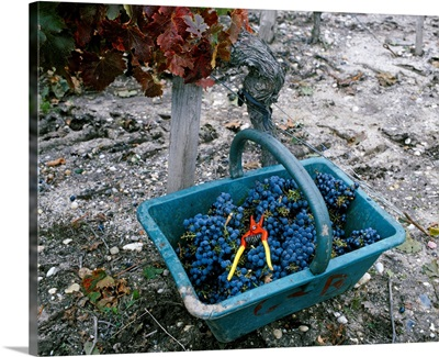 A basket full of grapes in a vineyard