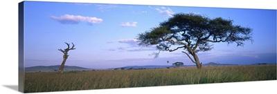 Acacia tree in a field, Serengeti National Park, Tanzania