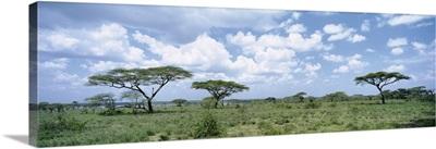 Acacia Trees Lake Ndutu Tanzania Africa