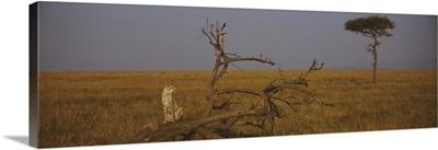 African cheetah (Acinonyx jubatus jubatus) sitting on a fallen tree, Masai Mara National Reserve, Kenya