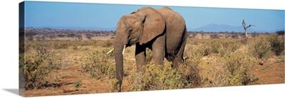 African Elephant Samburu Kenya
