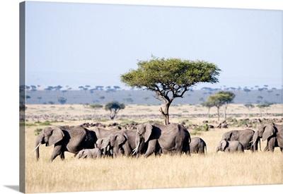 African elephants in a forest, Masai Mara National Reserve, Kenya
