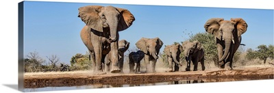 African Elephants running to waterhole, Mashatu Game Reserve, Botswana
