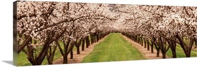 Almond Tree Orchard CA