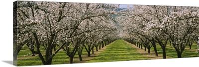 Almond Tree Orchard nr Winters CA