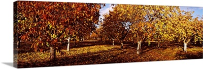 Almond Trees during autumn in an orchard, California