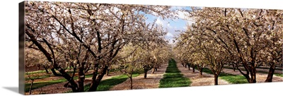 Almond trees in an orchard, Central Valley, California