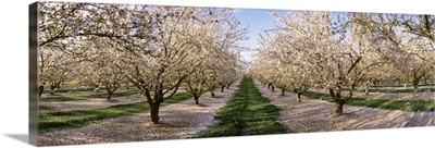 Almond trees in an orchard, Central Valley, California,