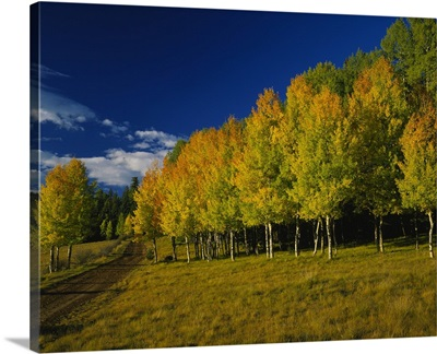 American Aspen trees in a forest, Terry Flat Loop, Apache-Sitgreaves National Forest, Arizona