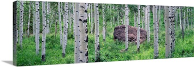 American aspen trees in the forest, White River National Forest, Colorado