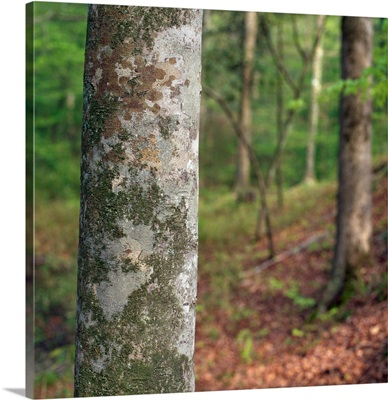 American beech tree trunk, selective focus, Kistachie National Forest, Louisiana