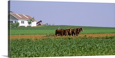 Amish Plowing Field Lancaster County PA
