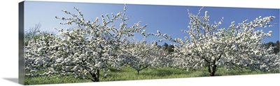 Apple Blossom Trees Norway