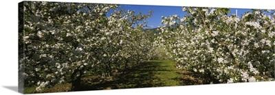 Apple orchard in bloom, Peshastin, Chelan County, Washington State