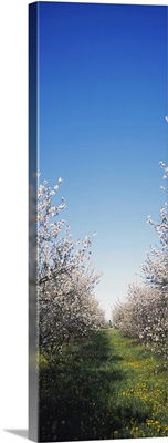 Apple trees in an orchard, Illinois