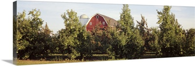 Apple trees in an orchard, Kent County, Michigan