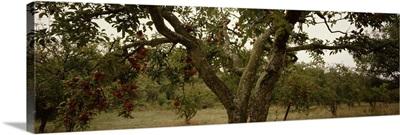 Apple trees in an orchard, Sebastopol, Sonoma County, California
