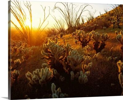 Arizona, Sonoran Desert, Ocotillo and teddy bear cholla