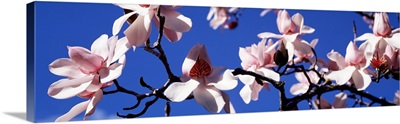 Asian Magnolia Blossoms CA