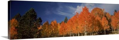 Aspen trees, Boulder Mountain, Utah