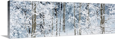 Aspen trees covered with snow, Taos County, New Mexico