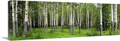 Aspen trees in a forest, Banff, Banff National Park, Alberta, Canada
