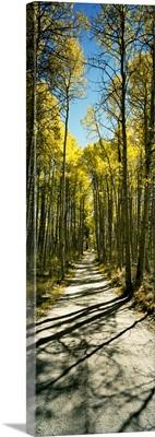 Aspen trees in a forest, Californian Sierra Nevada, California