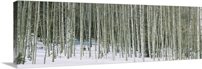 Aspen trees in a forest, Chama, New Mexico