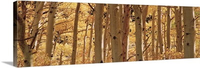Aspen trees in a forest, Rock Creek Lake, California