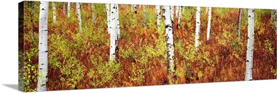 Aspen trees in a forest, Shadow Mountain, Grand Teton National Park, Wyoming