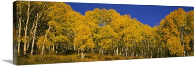 Aspen trees in a forest, Telluride, San Miguel County, Colorado
