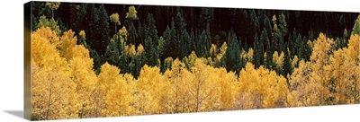 Aspen trees in a forest Telluride San Miguel County Colorado