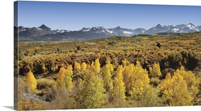 Aspen trees in a forest with a mountain range in the background, Sneffels Range, Dallas Divide, Colorado